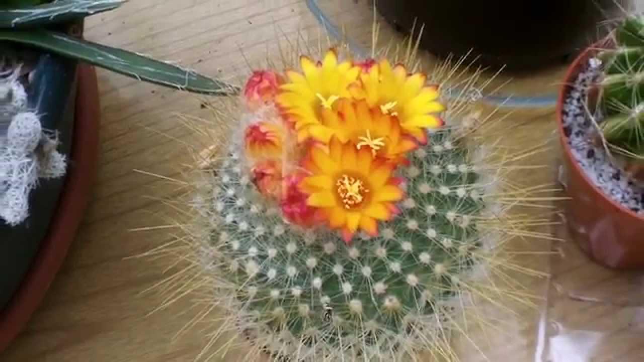 My Parodia Chrysacanthion Rubra Orange Flame Cactus In Yellow And