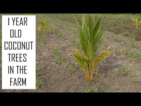 Coconut Trees after 1 year of planting / Coconut Tree Cultivation / Coconut Farming in Tamil Nadu