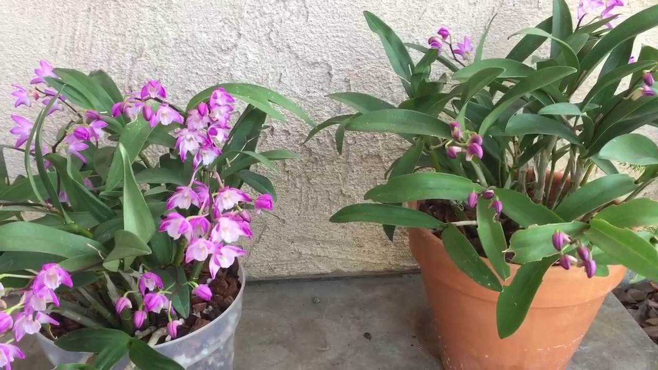 Dendrobium Kingianum Orchids Clay Pot Vs Plastic Update