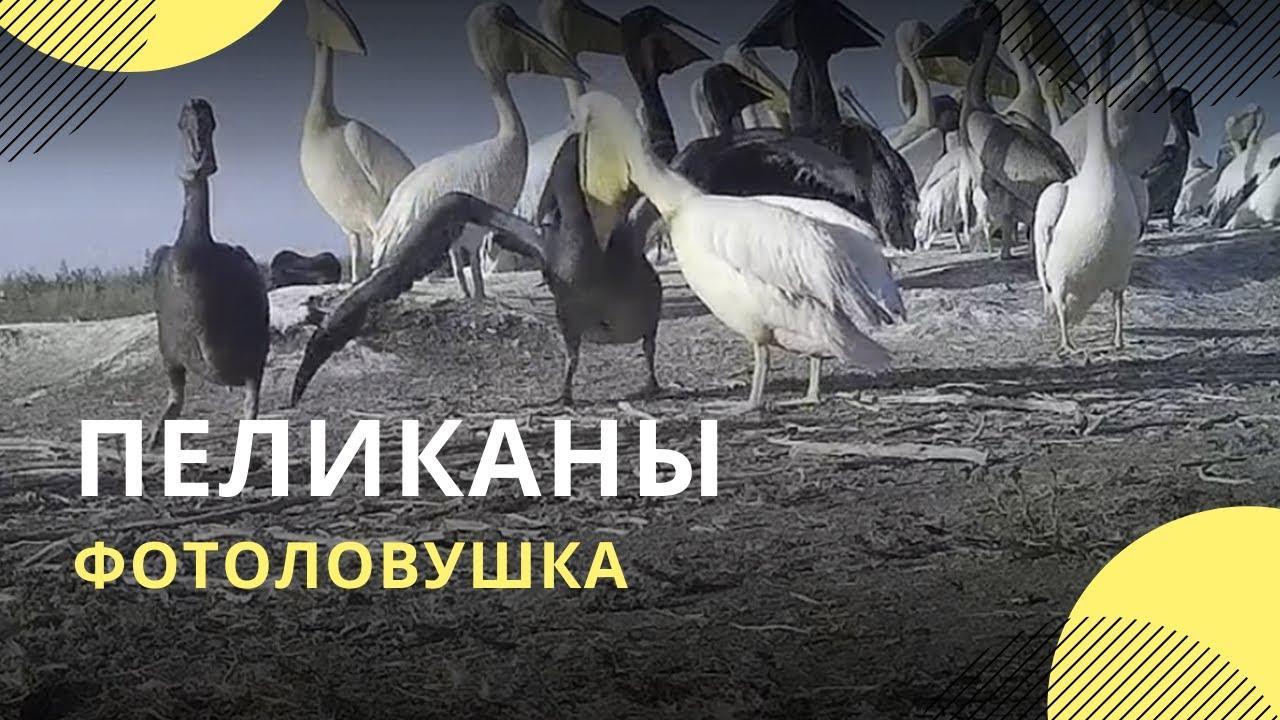 Пеликаны покрасовались перед фотоловушкой в «Черных землях»