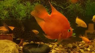 Рыба попугай, или красный попугай (Red Parrot Cichlid)