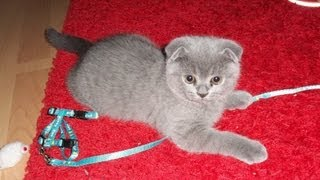 Scottish Fold Kater Perseus - unser kleiner Halbgott und neues Familienmitglied :)
