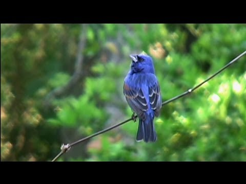 Blue Grosbeaks, Indigo and Painted Buntings - Amelia Island Fl