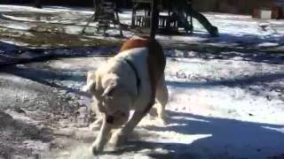 English Bulldog On Trampoline