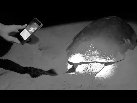 TRAVEL VLOG #1 | Suriname: Eerste groene zeeschildpad gespot voor 2017