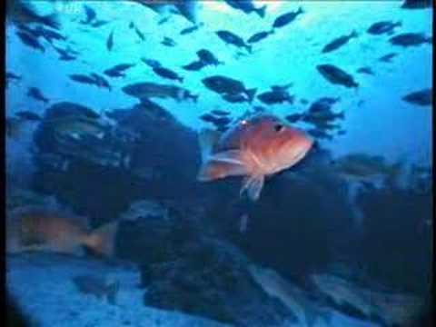 Cowcod & Bocaccio Rockfish
