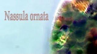 Nassula ornata