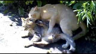Кошачья свадьба.mp4