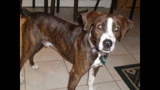 Joe Boxer- Boxer / Hound Mix With Rover Rescue