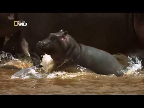 Африка. Бегемоты против Крокодилов! Дикие хищники Африки.