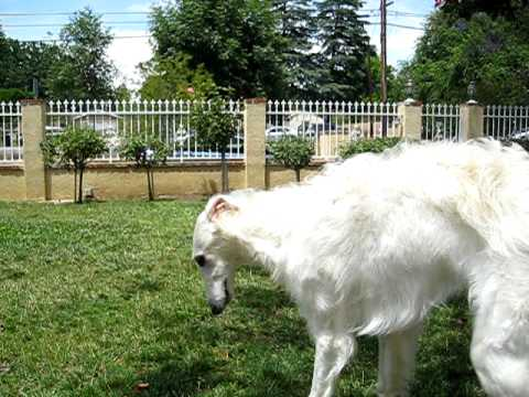 Borzoi puppy running g...