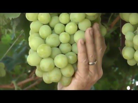 Quá trình thu hoạch nho xanh không hạt