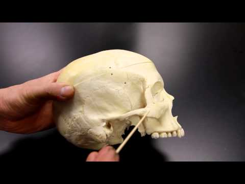 SKELETAL SYSTEM ANATOMY: Lateral aspect of the human skull