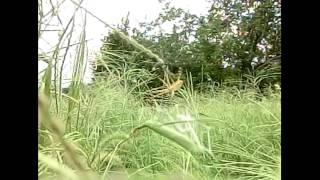 巣網を揺らすナガコガネグモ.