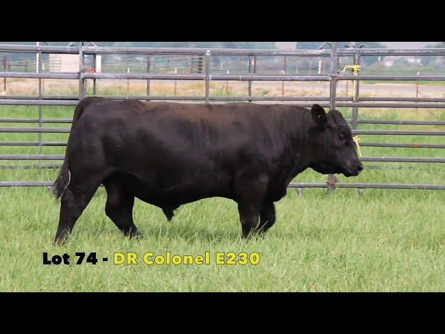 Black Gold Bull Sale Lot 74