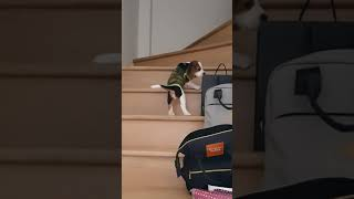 Beagle dog falling down the stairs   Fell down the stairs #shorts