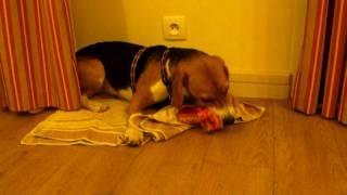 Beagle Barf