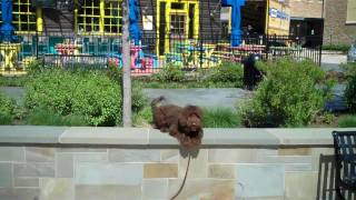 Josie The Labradoodle Showing Off - Redeeming Dogs