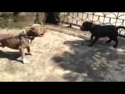 American Bully Fight Youtube