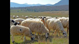 La oveja churra castellana. Burgos, España