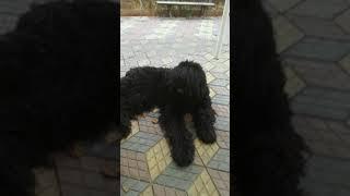 Русский черный терьер: трещины на подушечках лап