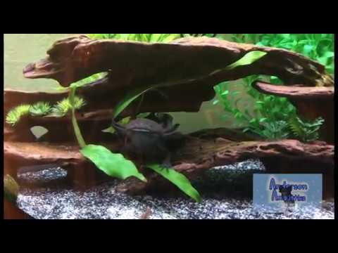 Proper Axolotl Tank Set Up
