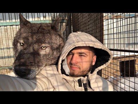 Самый крупный волк в мире канадский добряк