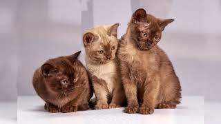 Бурманская кошка. Плюсы и минусы, Цена, Как выбрать, Факты, Уход, История