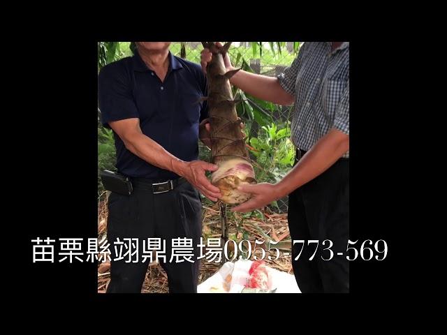 甜龍筍苗的介紹:怎麼種?怎麼買?
