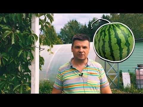 Выращивание арбузов и дынь в теплице в Подмосковье