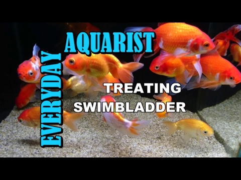 Treating Constipation Swim Bladder Bloat & Internal Bacteria In Aquarium Fancy Goldfish