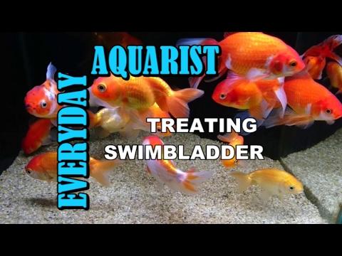 Treating Constipation Swim Bladder Bloat & Internal Bacteria In Aquarium Fancy Goldfish