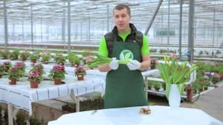 Как выбрать тюльпаны к 8 марта(Подробнее: http://www.guslica.ru Больше видео: https://www.youtube.com/channel/UCYYNZ2zlH_XCc3KRTxUcfmQ?sub_confirmation=1 На что нужно ..., 2016-03-03T09:31:53.000Z)