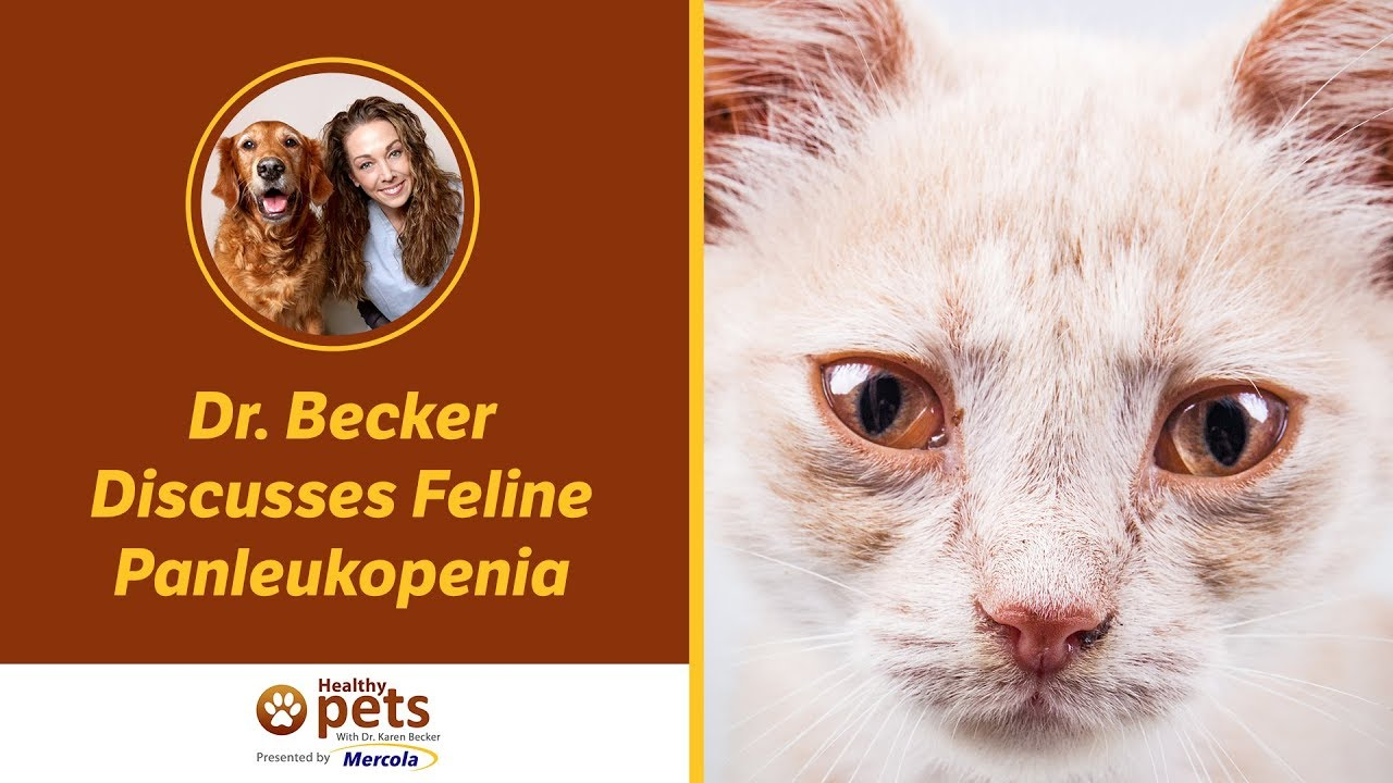 Pahami Lebih Dalam Tentang FPL ( Feline Panleukopenia ) - Meongers