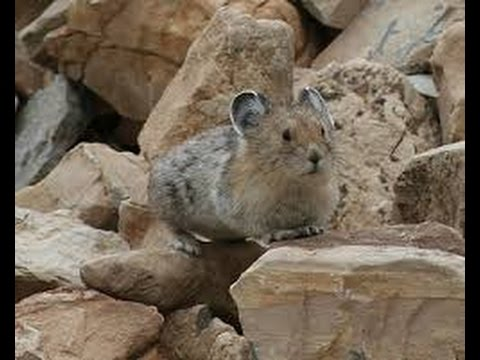 The Rare and Elusive Pika(full documentary)HD