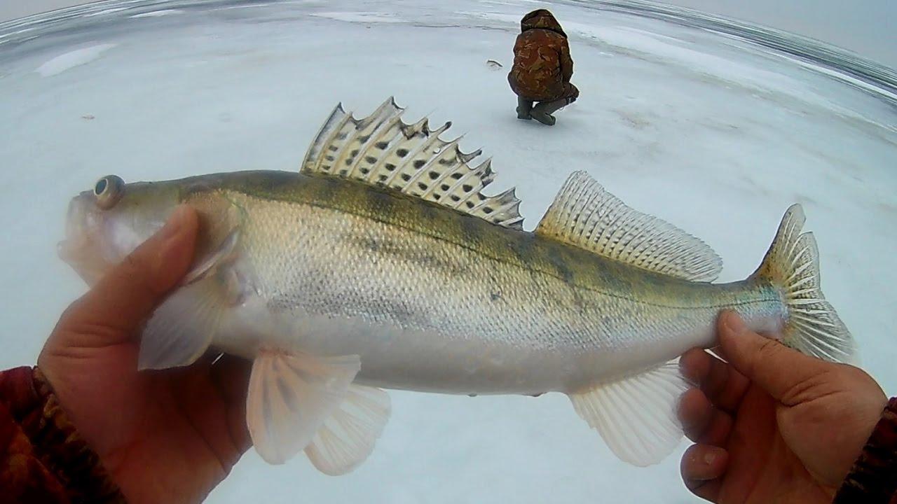 Ловля судака зимой.  Рыбалка на судака