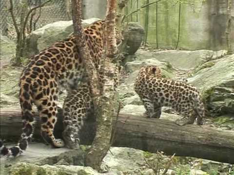 Rare Amur leopard cubs in eastern France zoo