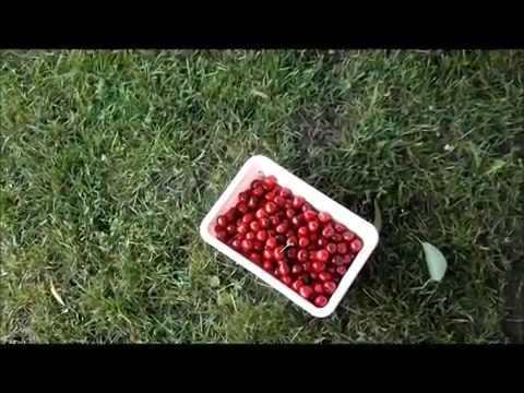 Tips for Picking Cherries off large trees June 2014