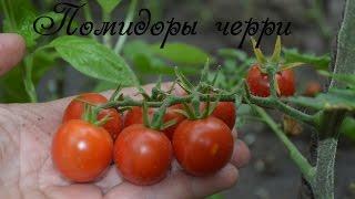 Помидоры черри, базилик и умные грядки!(Помидоры черри совершенно неприхотливы, и в отличие от других сортов томатов могут размножаться самосевом...., 2015-07-20T16:45:47.000Z)