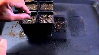 Starting Arabica Coffee Plants From Seed, Series, Episode #1