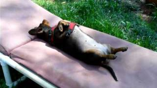 Silly Dachshund Lounging Around