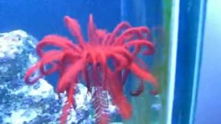 Feather Starfish Swimming, beautiful red starfish dancing featherlike in the water