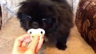 Пекинес щенок и соска