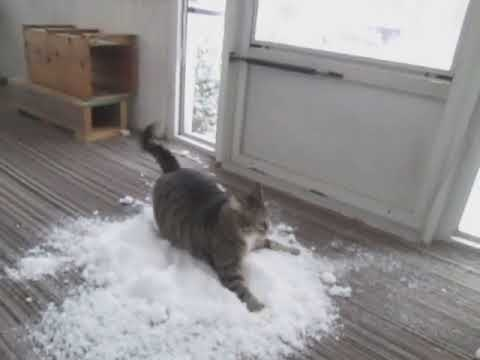 Cat Loves To Play With Snow Brought Indoors By Owner 1083703 Youtube