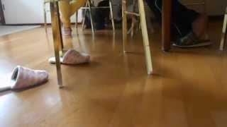 Lebrel Italiano Brincando Com Maltese Misturado Com Poodle