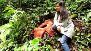 Amorphophallus titanum & Rafflesia arnoldii (Ekspedisi KPPL)
