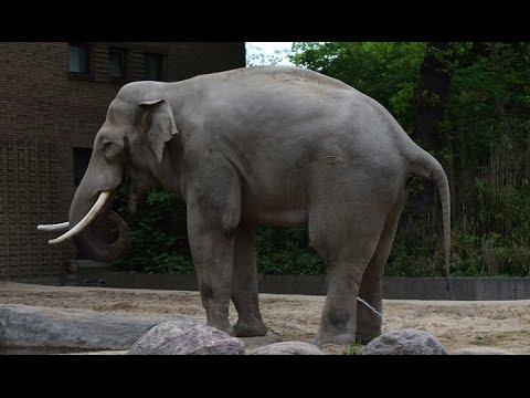 Elefant beim pinkeln - lustiges Tiervideo