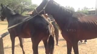 Repeat youtube video การผสมพันธุ์ของม้า
