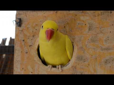 yellow indian ringneck parrot in the nest box
