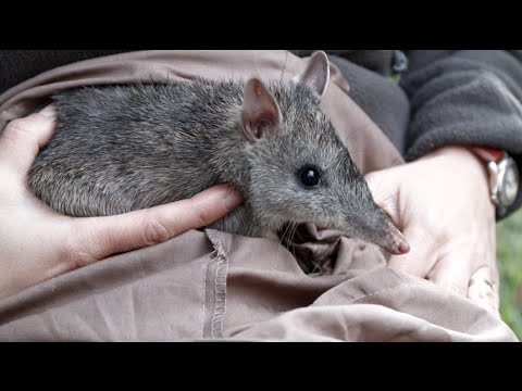 Bandicoots in the backyard [HD] Off Track, ABC RN